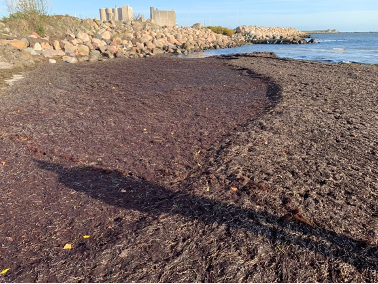 Beach wrack at Fakse Ladeplads
